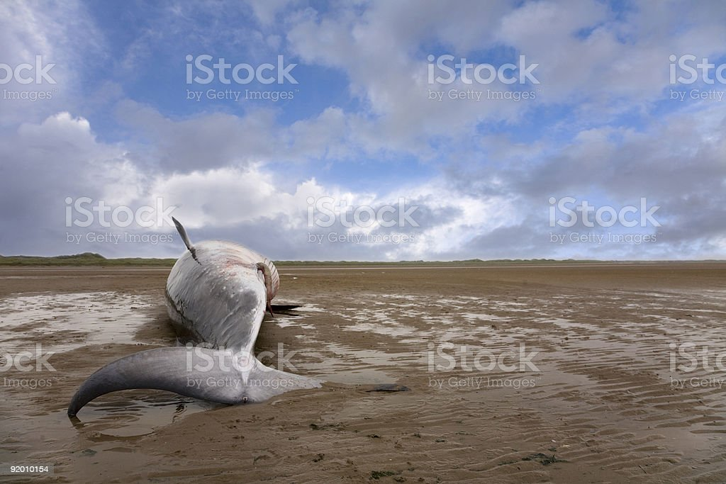 Minke Whale royalty-free stock photo