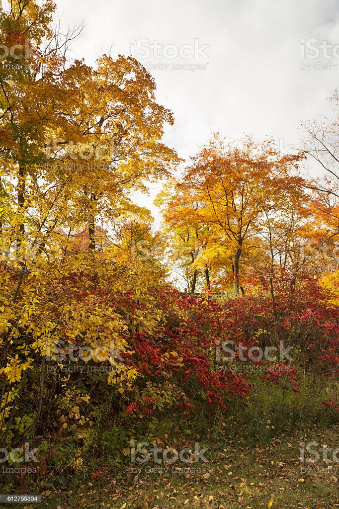 Minnesota Autumn - Colorful Maple Trees and Bushes on Hillside stock photo