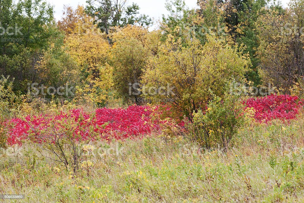 Minnesota Autumn Landscape with Red Sumac Bushes and Trees stock photo