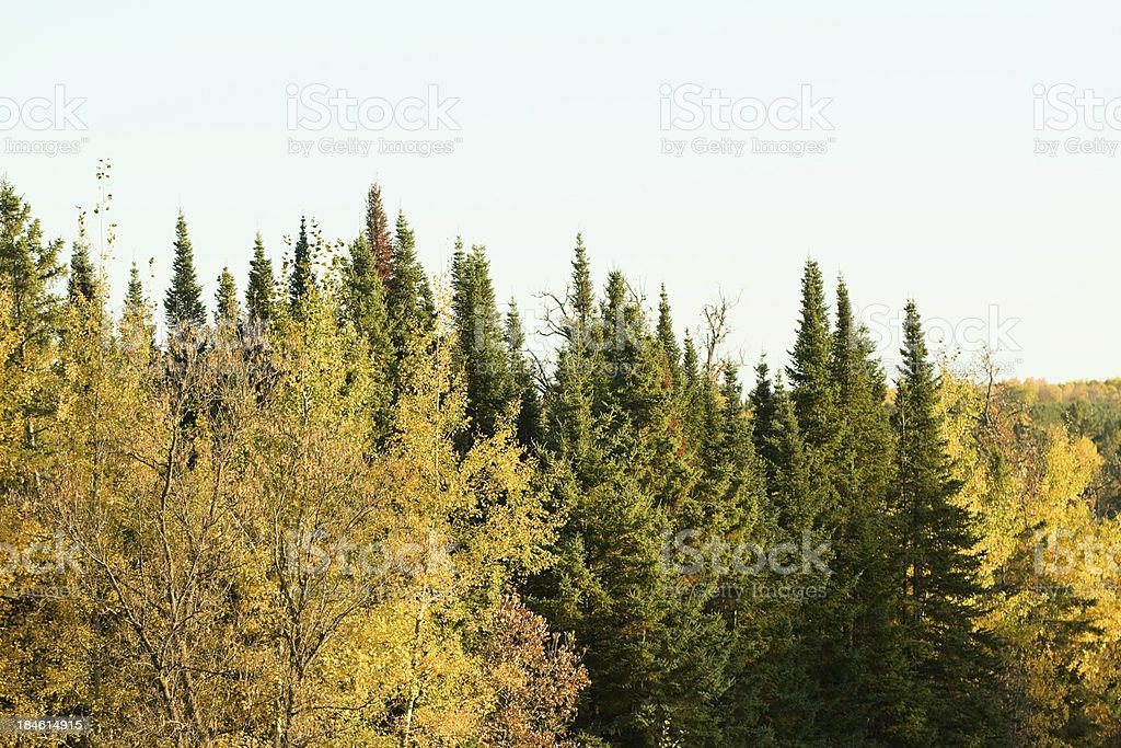 Minnesota Forest royalty-free stock photo