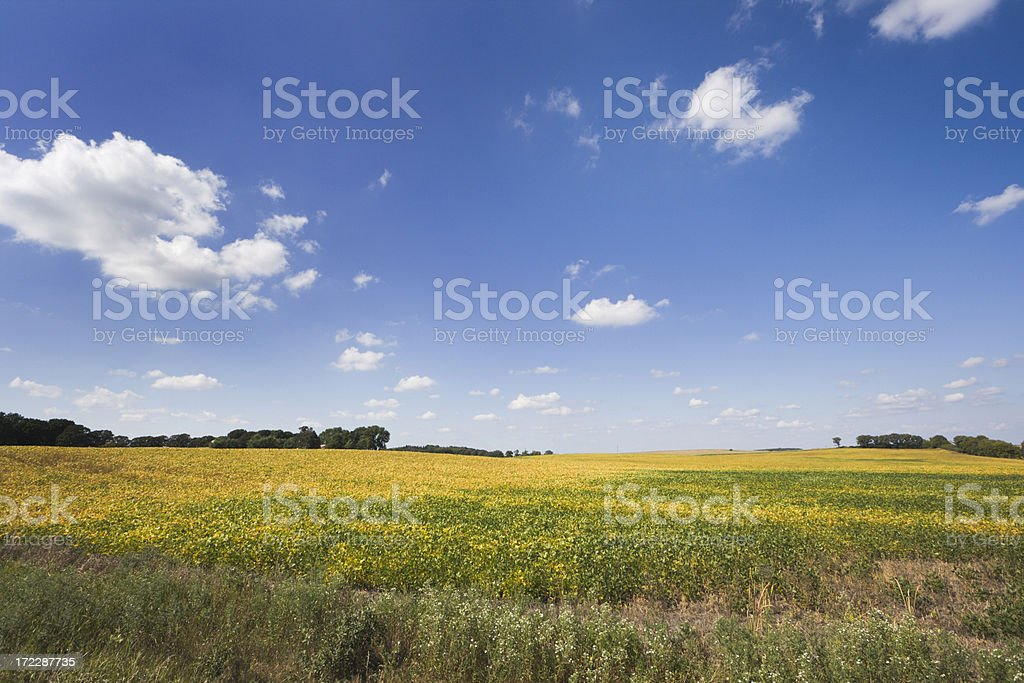 Minnesota Soybean Farm Field Autumn Landscape in Midwest USA royalty-free stock photo