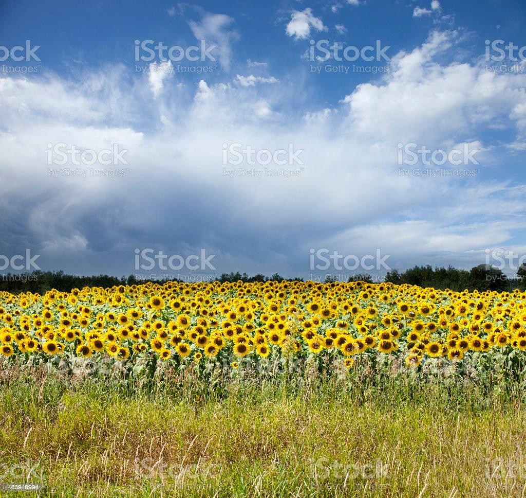 Minnesota Sunflower Field against a Stormy Sky stock photo