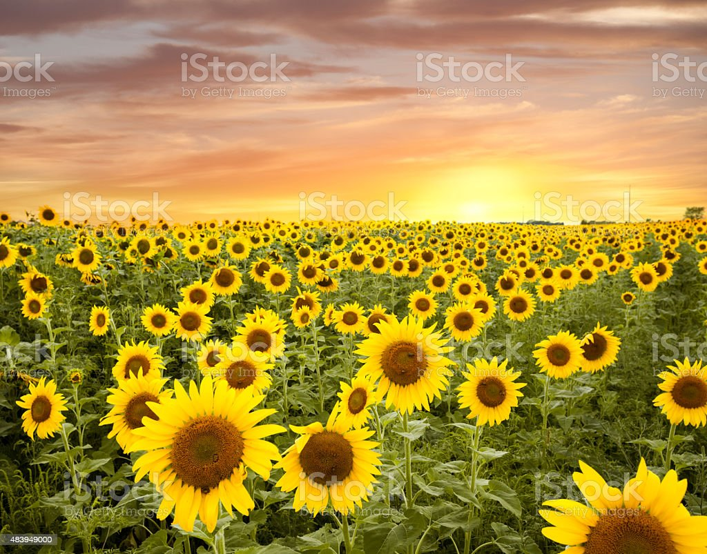 Minnesota Sunflower Field and a Dramatic Sky stock photo