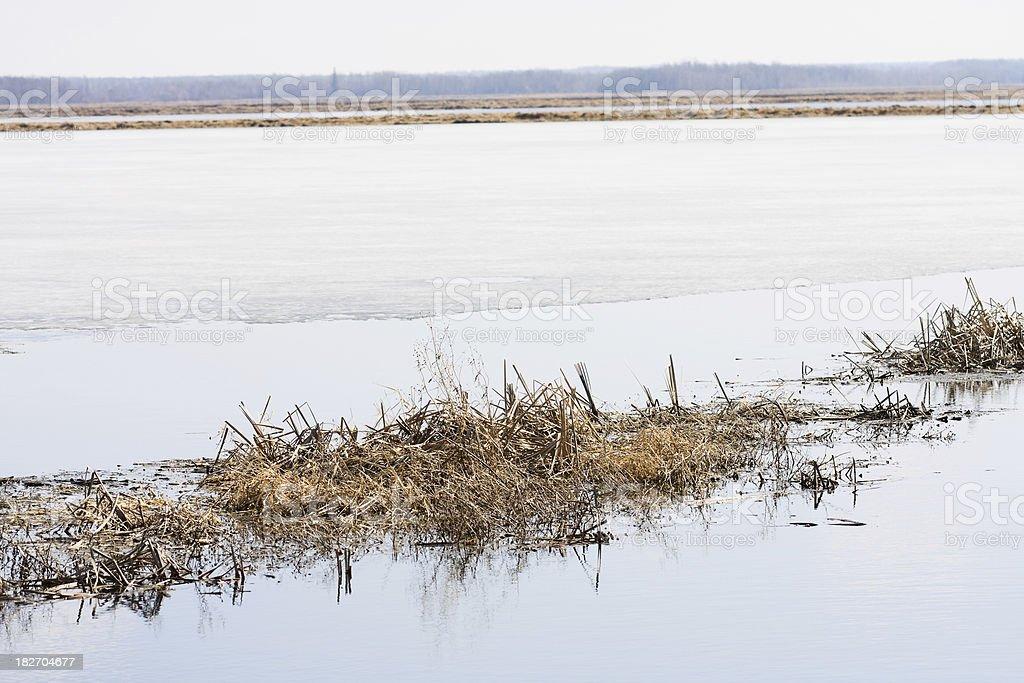 Minnesota Wild Rice Paddy in Spring stock photo