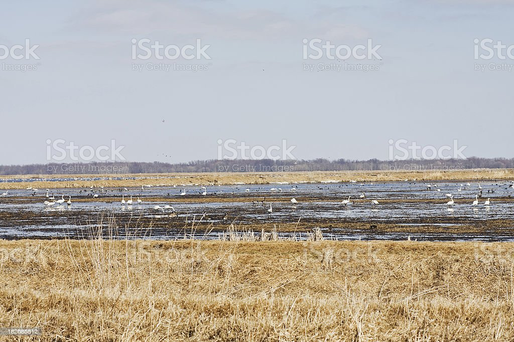 Minnesota Wild Rice Paddy with Migrating Swans and Geese stock photo