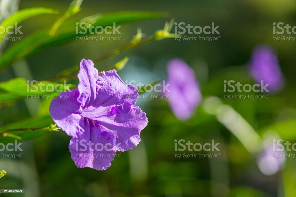 Minnieroot Flower stock photo