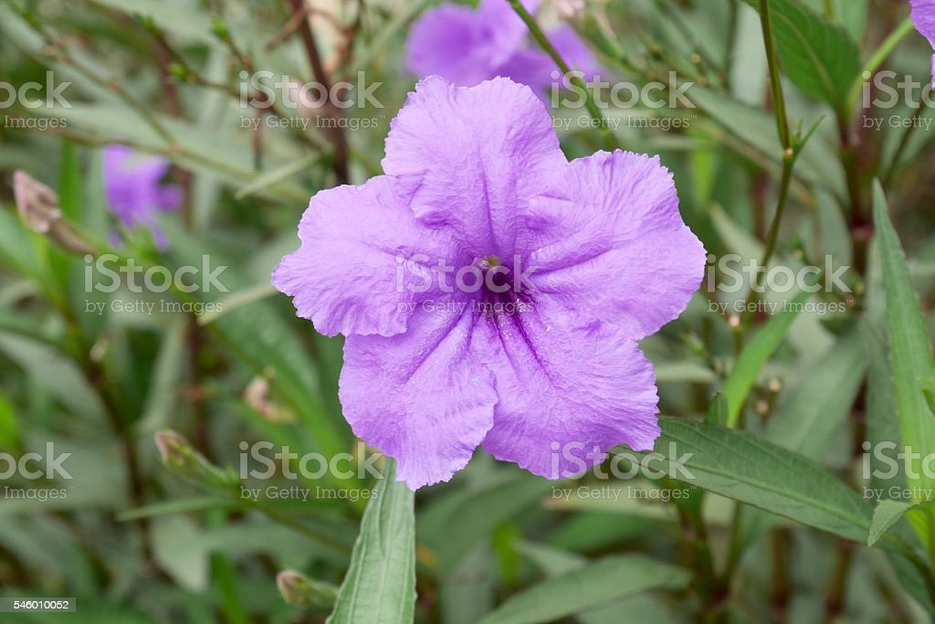 Minnieroot, Popping pod, Cracker plant (Ruellia tuberosa L.) stock photo