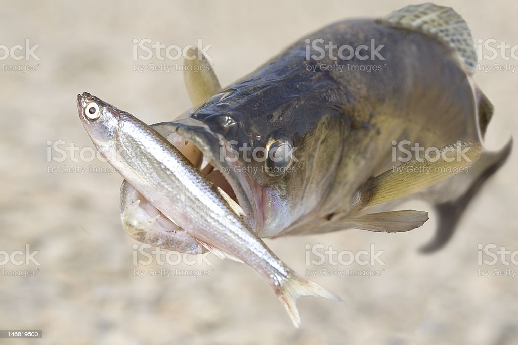 Minnow and pike-perch royalty-free stock photo