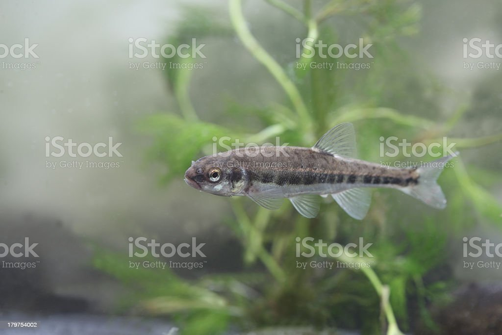 Minnow, Phoxinus royalty-free stock photo