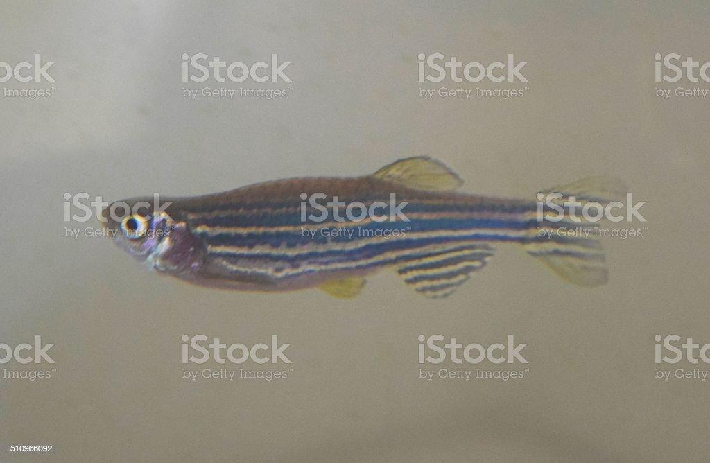 minnow zebra fish stock photo