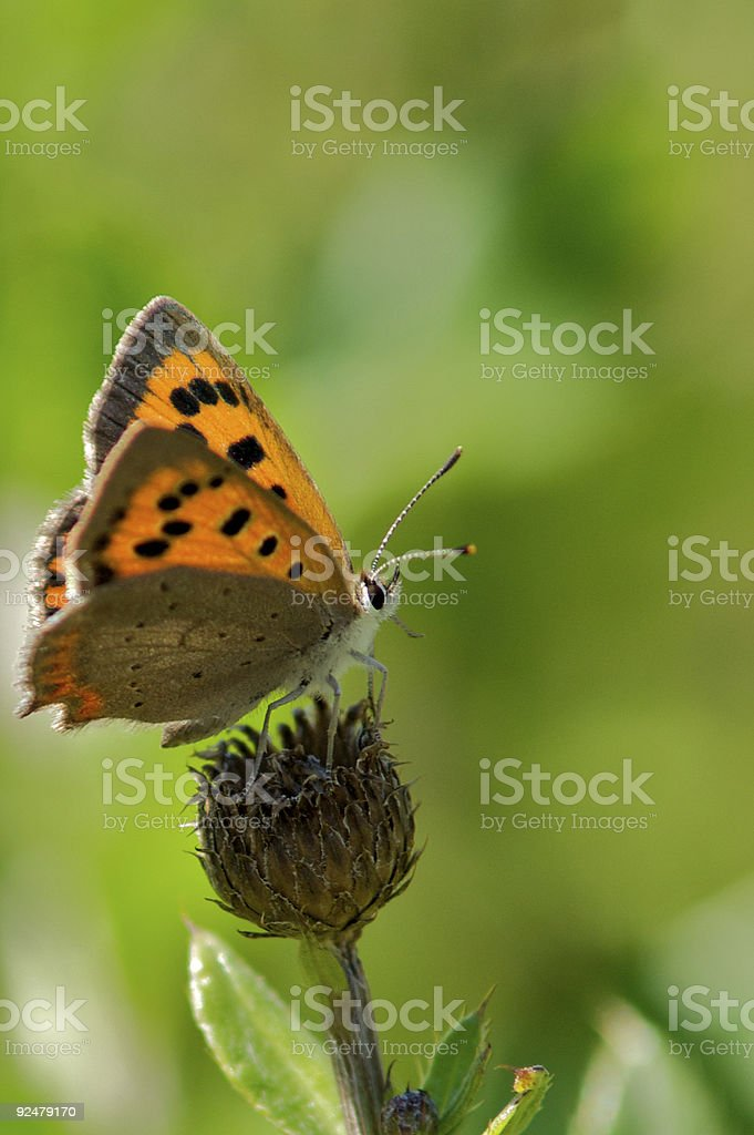 Minor Goldenwing butterly stock photo