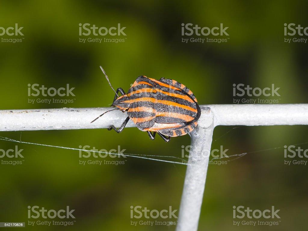 Minstrel bug Graphosoma lineatum on tube fence, macro, selective focus stock photo