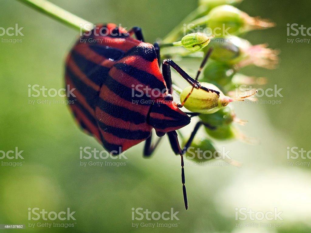 Minstrel bug (Graphosoma lineatum) on a flower. stock photo