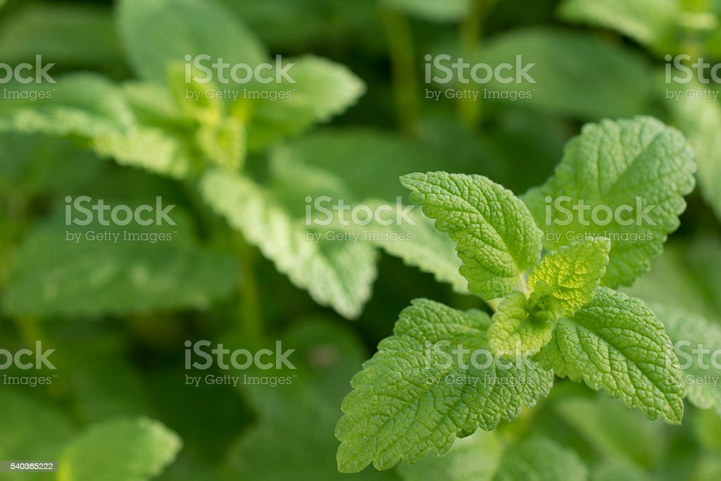 Mint Background stock photo
