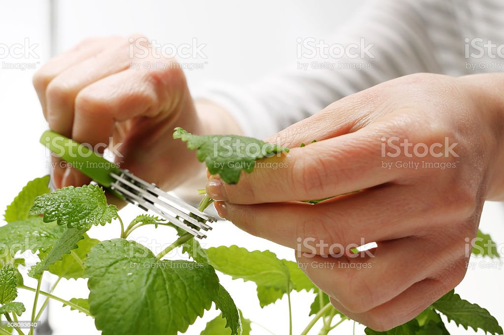 Mint, domestic cultivation of herbs. stock photo
