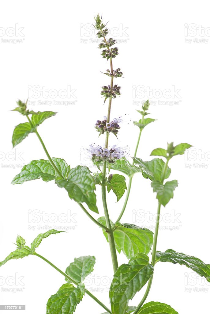 Mint Flower royalty-free stock photo