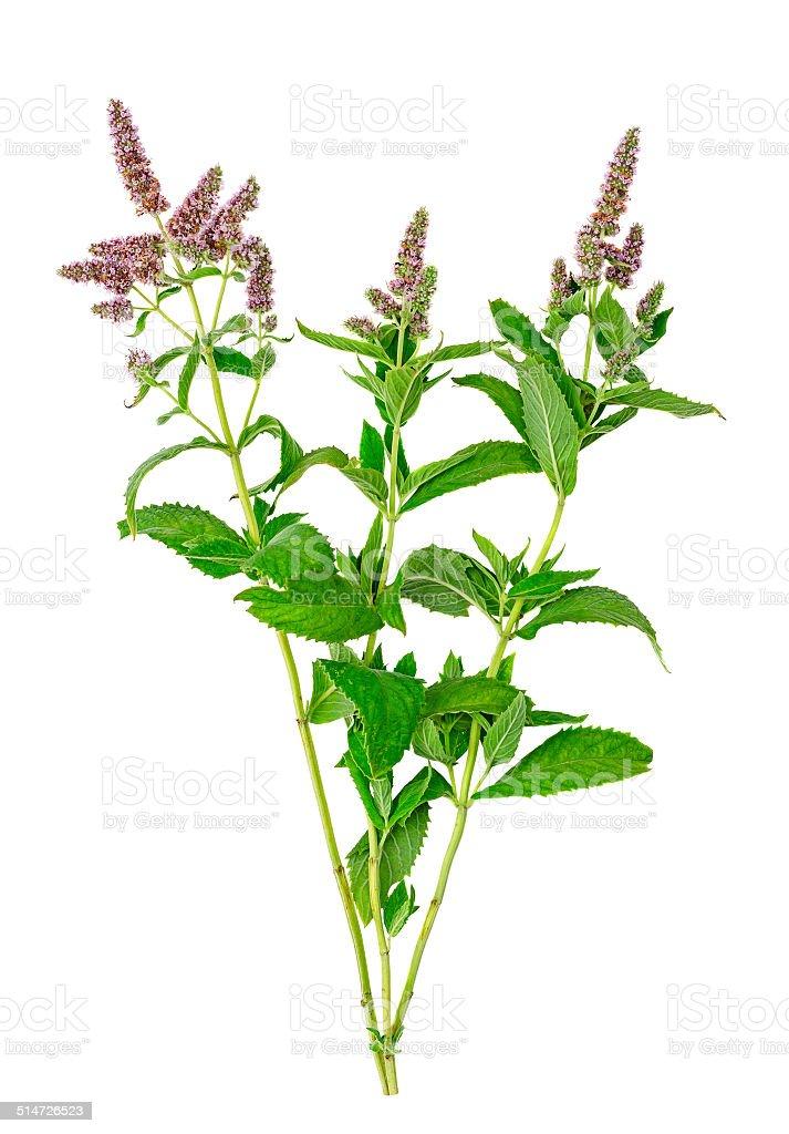 Mint flowers stock photo