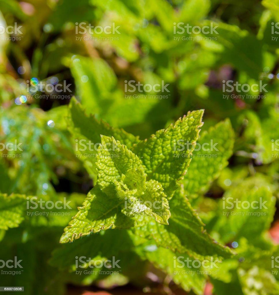 Mint growing in herb garden stock photo