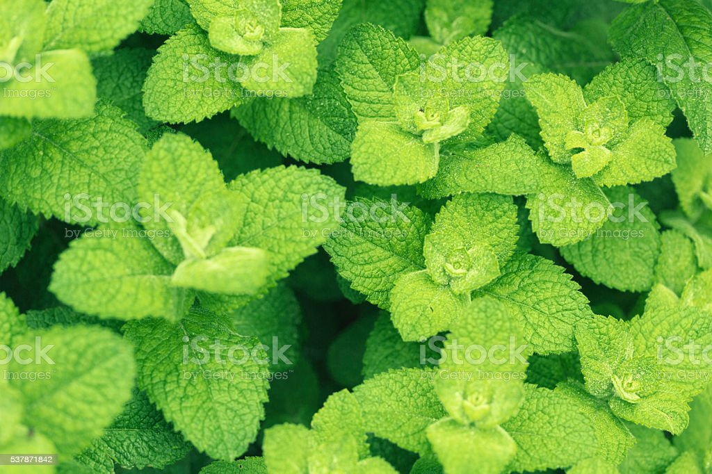 Mint herb stock photo