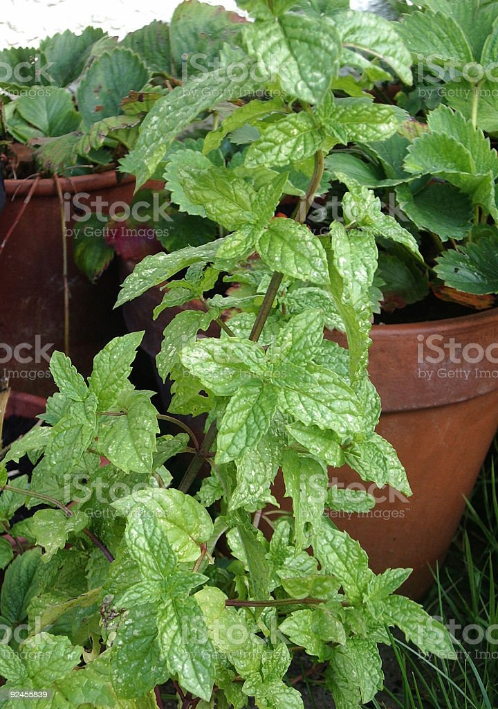 Mint Herb (Mentha) royalty-free stock photo