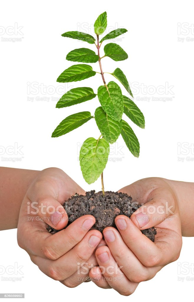 mint  in hands stock photo