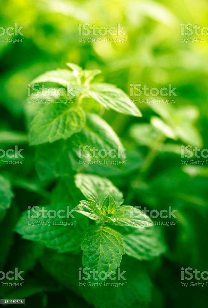 mint in herb garden stock photo