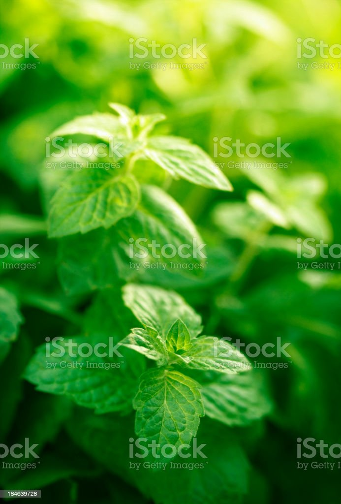 mint in herb garden stock photo