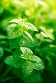 mint in herb garden