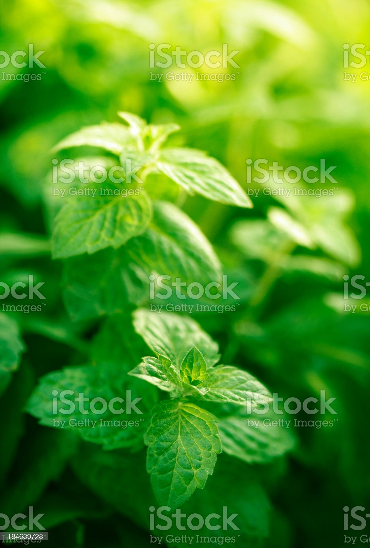 mint in herb garden royalty-free stock photo
