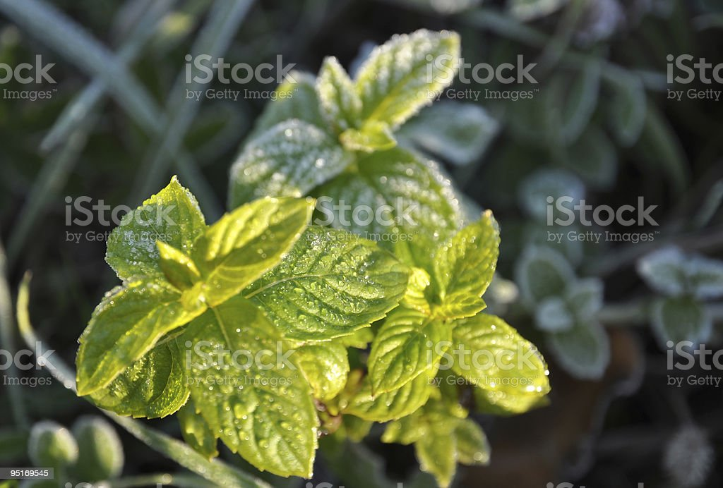 Mint in the Morning Sun royalty-free stock photo
