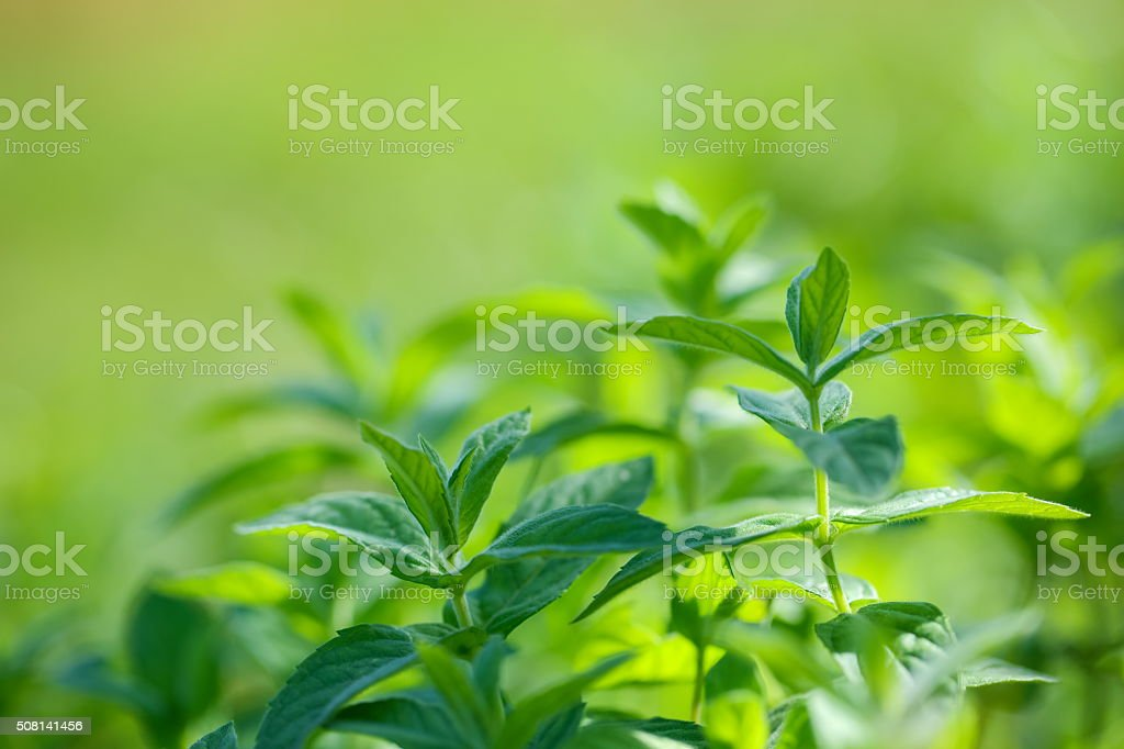 Mint in Wild stock photo
