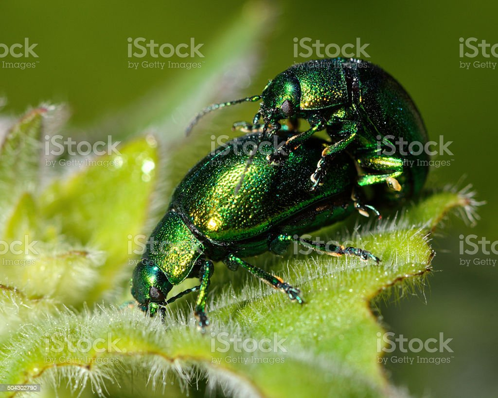Mint leaf beetles (Chrysolina herbacea) mating stock photo