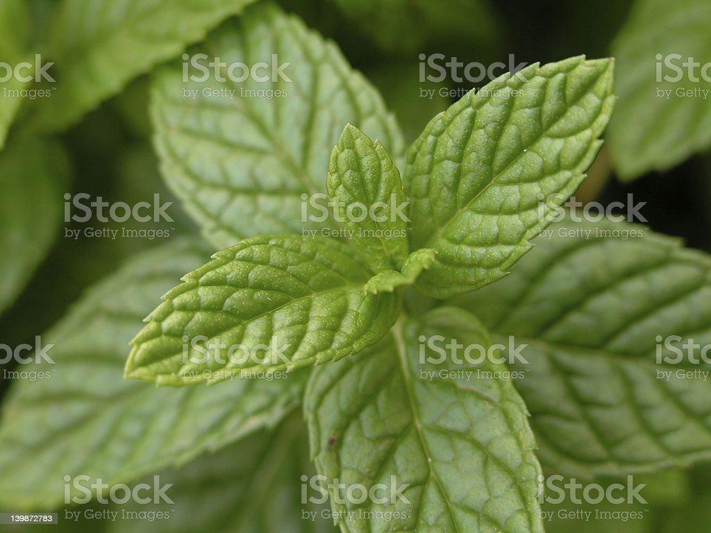 Mint leaf royalty-free stock photo