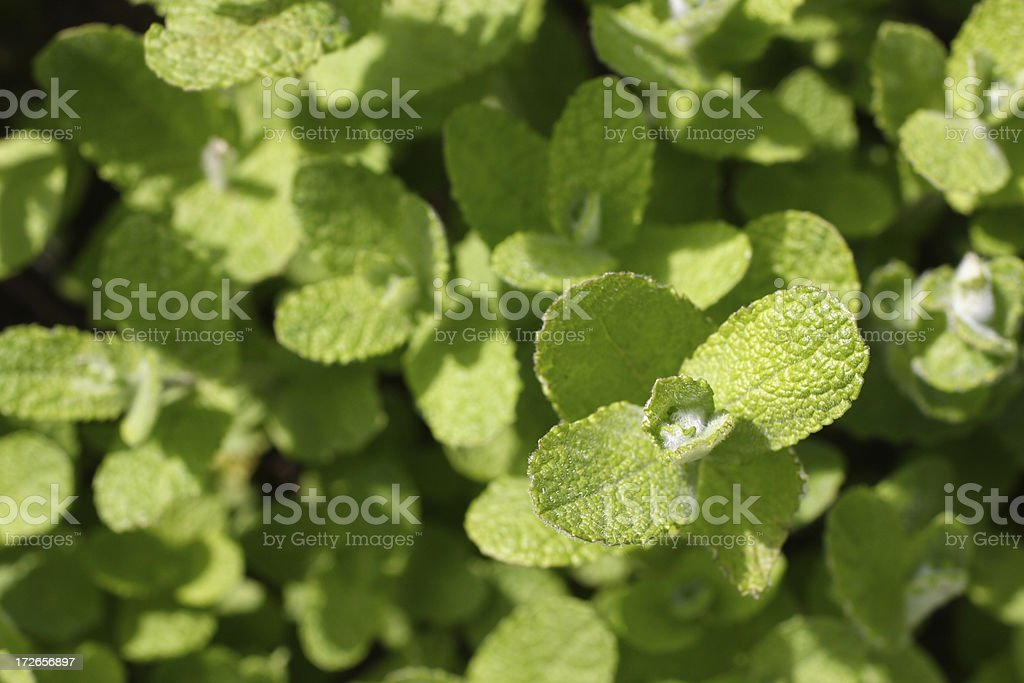 Mint leaves in spring - Mentha suaveolens stock photo