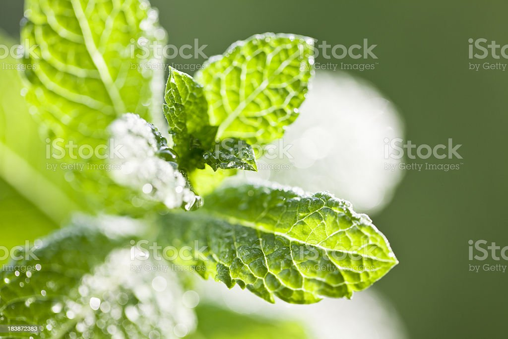Mint leaves with drops of water royalty-free stock photo