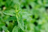 Mint Mentha peperita peppermint plant in the garden