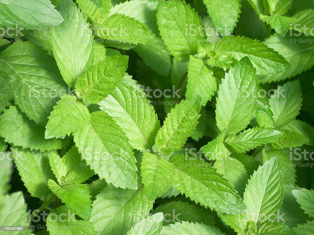 Mint stock photo