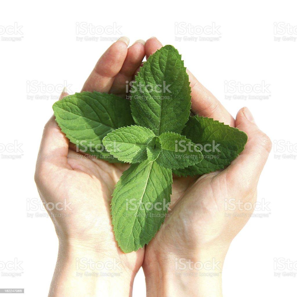 Mint royalty-free stock photo