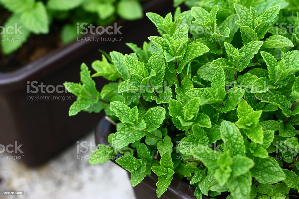 Mint plant growing on flower pot stock photo