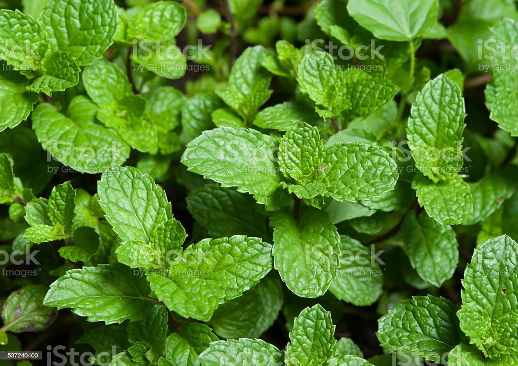 mint plant grown at vegetable garden stock photo