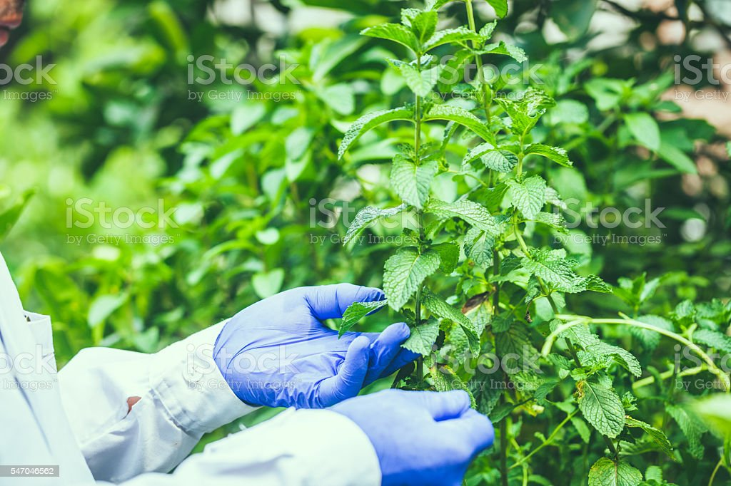 mint plant hold by  researcher hand stock photo