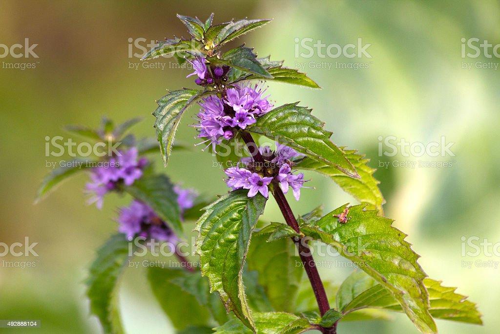 Mint plant stock photo