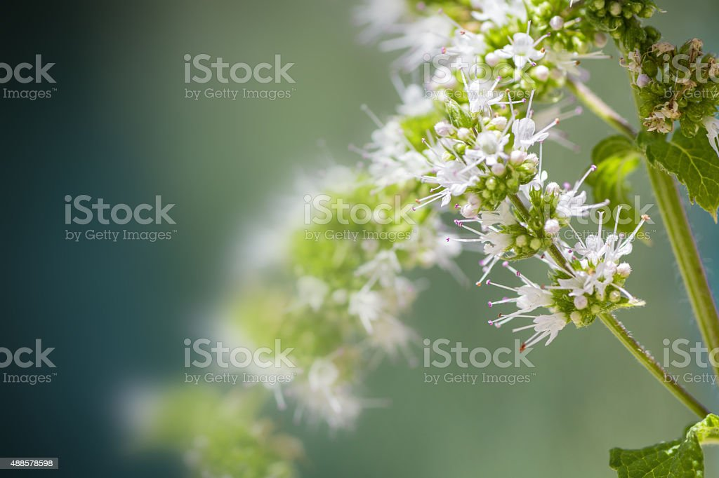 Mint plant white flower blossoming in summer close-up stock photo