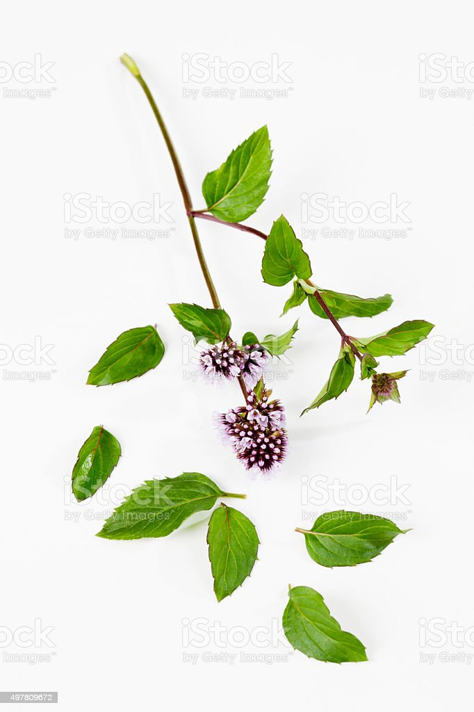 Mint stems with flowers leaves on white background stock photo