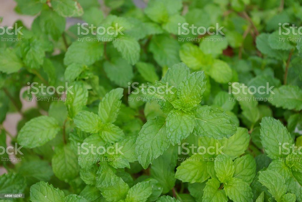 mints stock photo