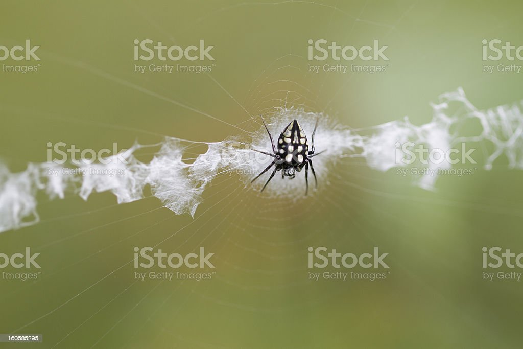 Minuscule Spider royalty-free stock photo