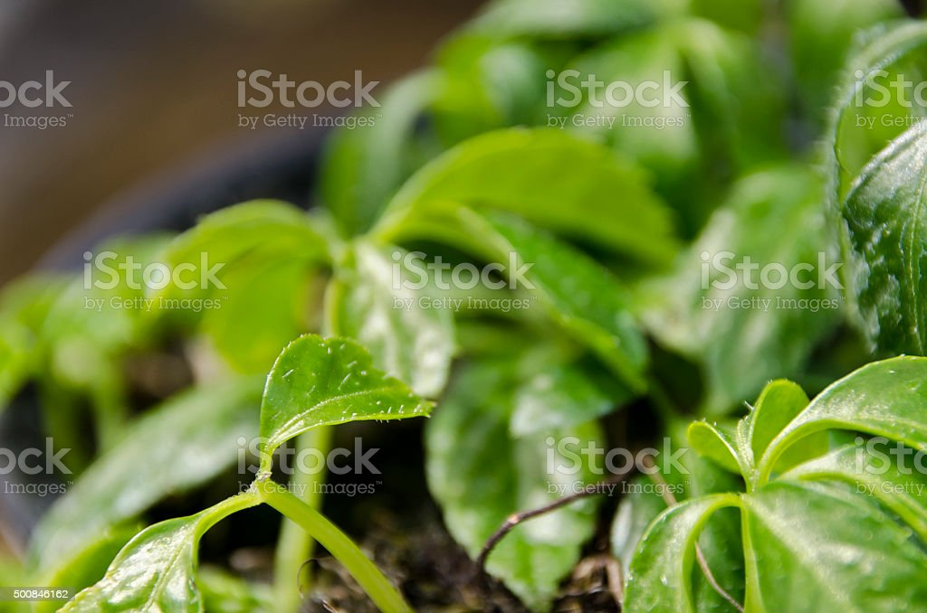 Miracle grass stock photo