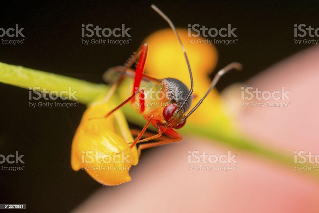 Miridae Bug stock photo