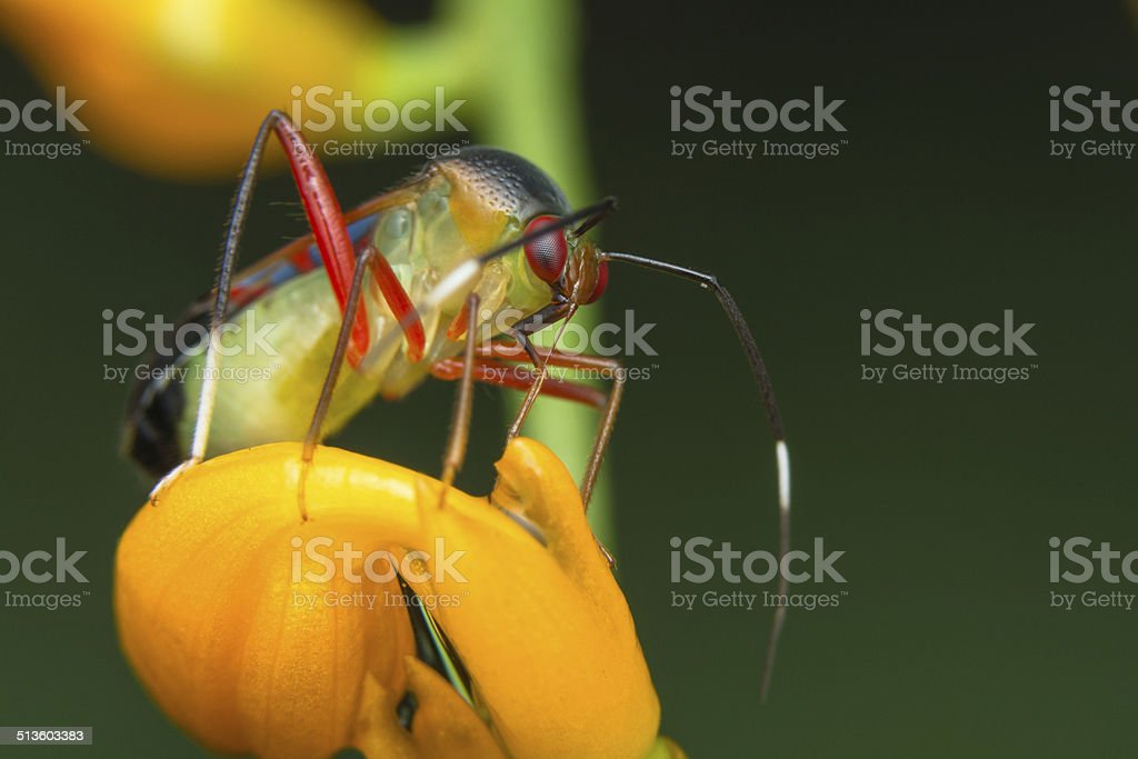 Miridae Bug stock photo