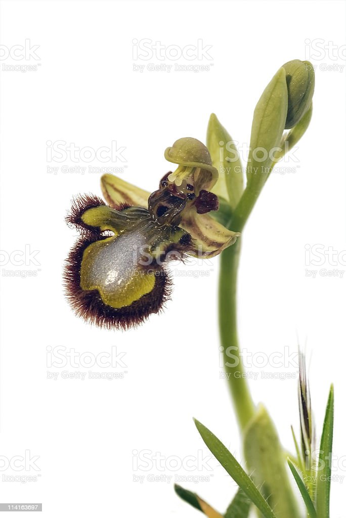 Mirror Bee Orchid - Ophrys speculum royalty-free stock photo